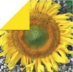 Rayher Scrapbooking-Papier: Sunflower, 30,5x30,5 cm, 190g